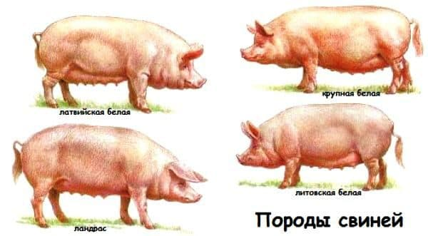 сально мясные породы свиней