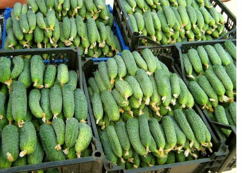 Лучшие сорта огурцов которые дают плодовитый урожай