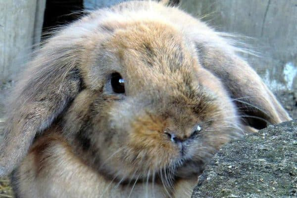 Ринит у кроликов лечение что делать и как лечить