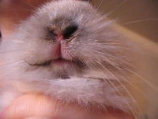 стоматит у кроликов лечение
