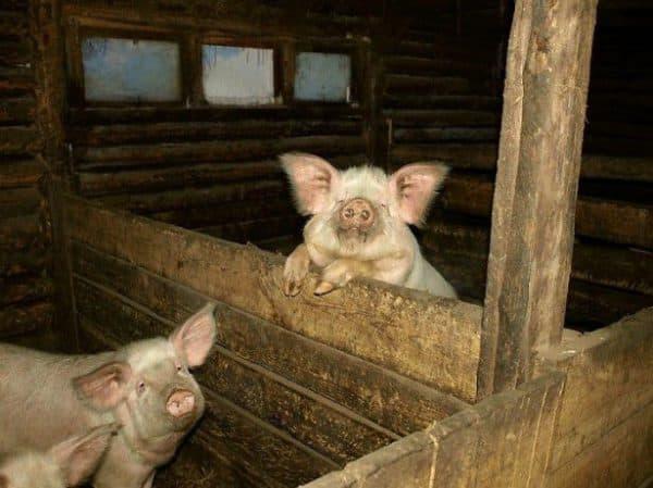 Характеристика свиньи, ее разведение, содержание, забой