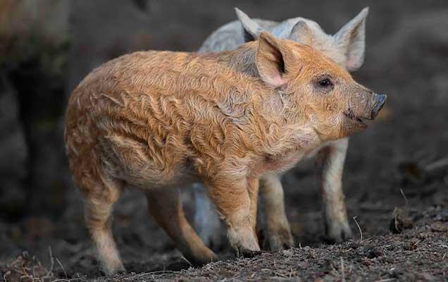 Венгерские свиньи характеристика