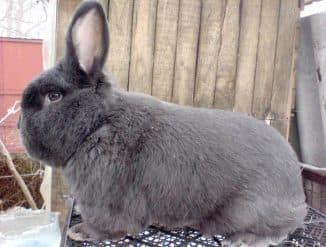 пуховые кролики породы