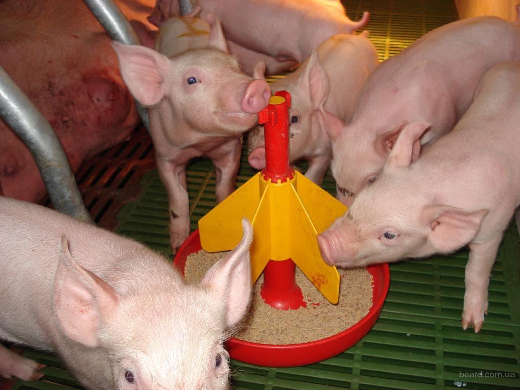 Все о свиноводстве в домашних условиях