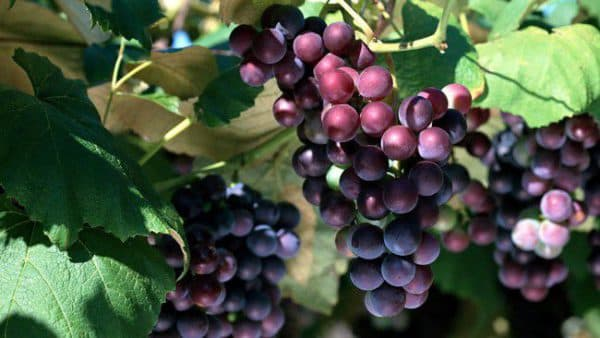Вредно ли кушать виноград с косточками
