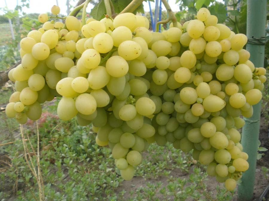 фото винограда новая аркадия лицо любой