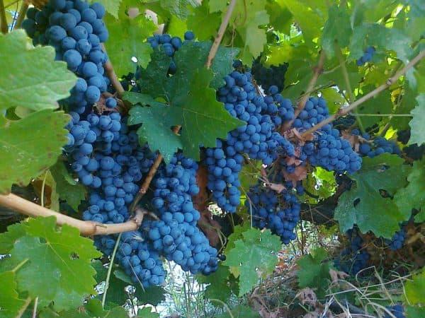 Сорта винограда винные или технические: из каких делают белое вино и красное