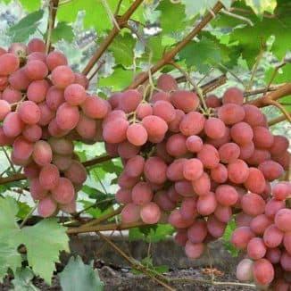 анюта виноград