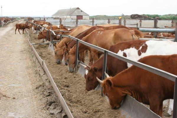 Разведение коров и выращивание крупного рогатого скота в домашних условиях