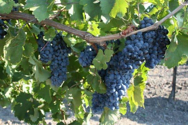 Техническая характеристика винограда известных сортов