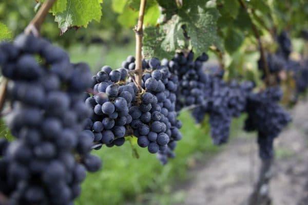 Из каких сортов винограда делают красное вино