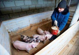 как кормить свиней правильно