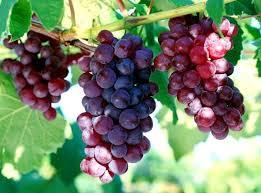 кардинал виноград