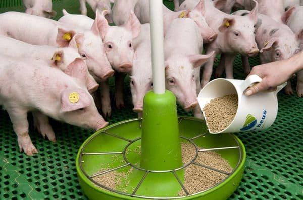 Корм свиньям своими руками