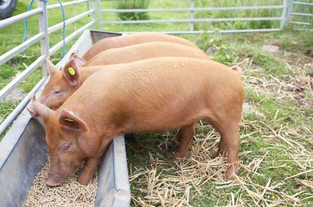 Сколько нужно корма чтобы вырастить свинью (фото и видео)