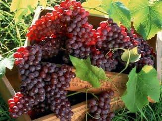 виноград красный (раздел)