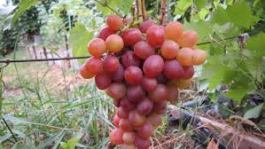 ливия виноград