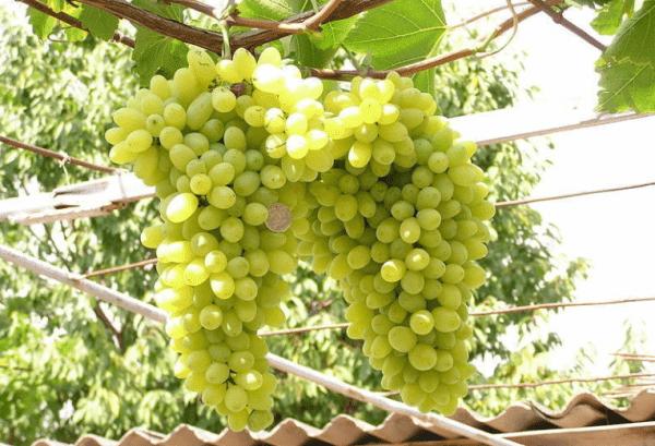 Посадка винограда лора описание уход выращивание