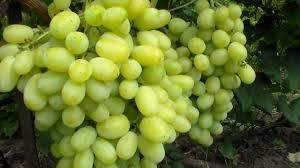 лора виноград