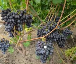 лорано виноград
