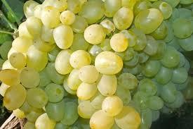 монарх виноград