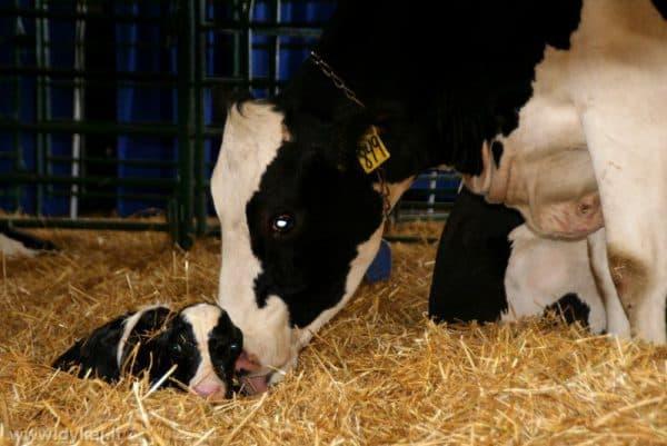 Молочные породы крс и их характеристика