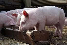 сколько корма нужно чтобы вырастить свинью