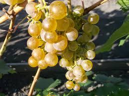 виноград ранние сорта (раздел)