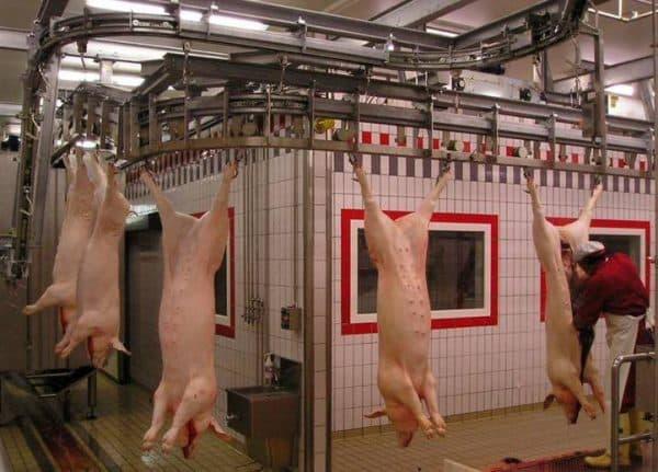 Убить свинью в домашних условиях