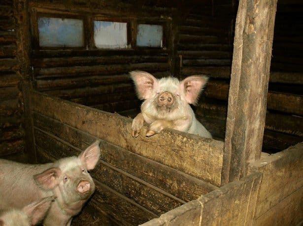 Содержание свиней - основы ведения бизнеса, правила содержания и кормления хрюшек