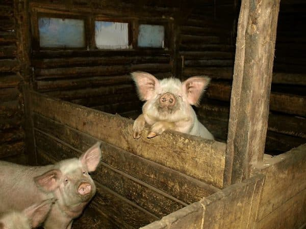 Свиноводство в дании