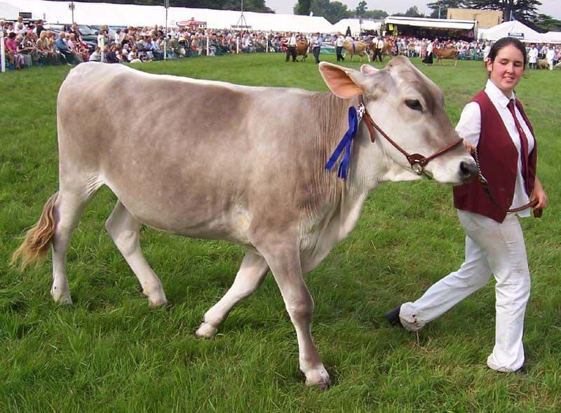 Швицкая корова особенности коров швицкой породы