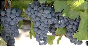 сорт винограда гарнача