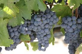 сорт винограда мальбек