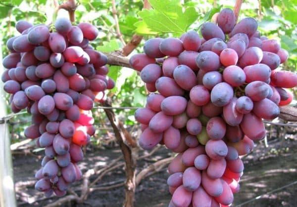 Какого цвета бывает виноград