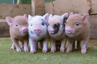 свинья сколько весит