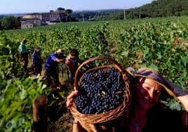 сорта винограда винные (раздел)