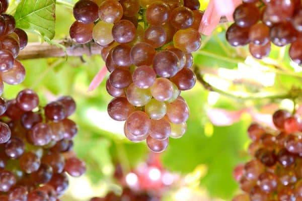 Виноград Ливия: описание и характеристика сорта, посадка, уход и борьба с болезнями