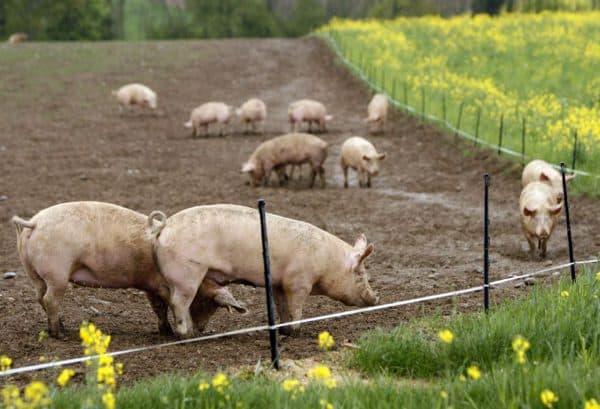 Грамотный откорм поросят на мясо в домашних условиях
