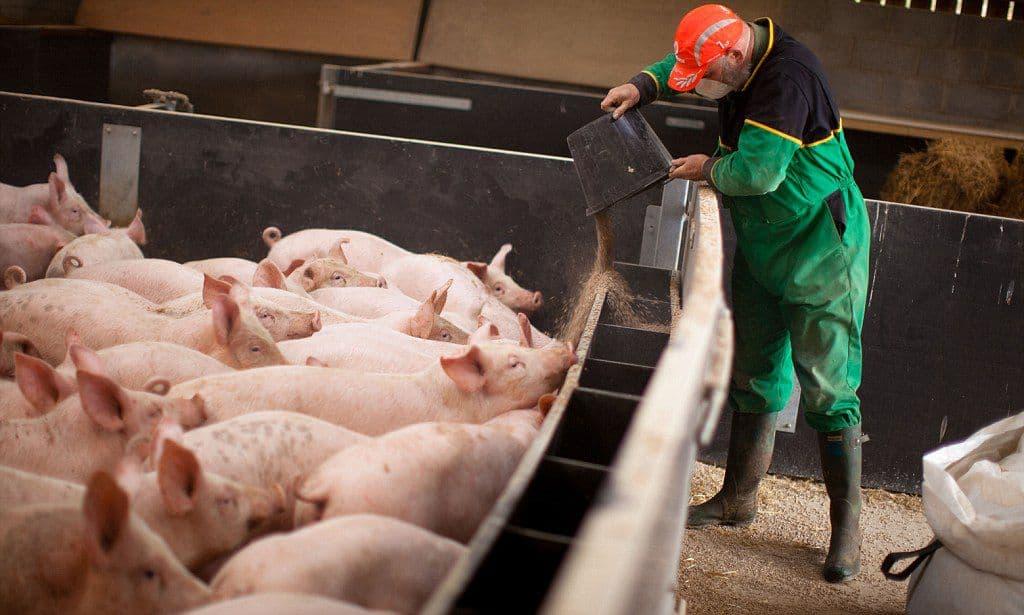 Разведение и выращивание свиней в домашних условиях как бизнес