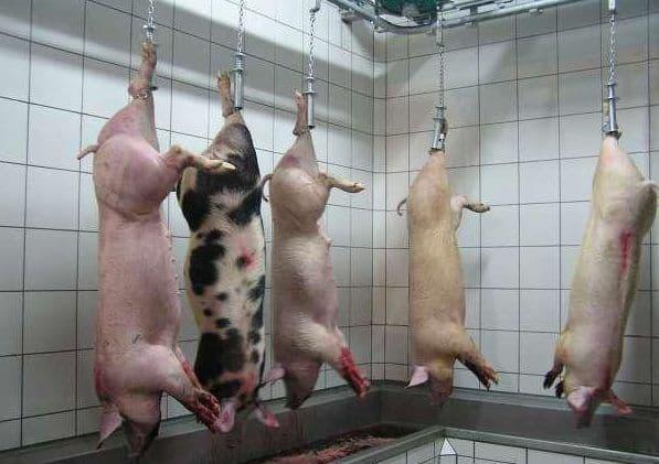 Забой свиней в домашних условиях: как правильно зарезать свинью, как убивать свиней ножом и электрошокером