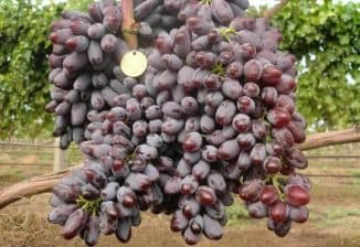 запорожский кишмиш виноград