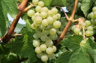 Виноград Шардоне.