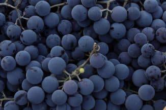 Амурский виноград посадка и уход в подмосковье.