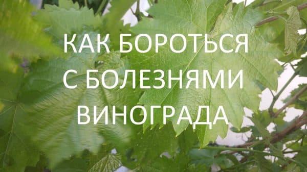 Препараты от милдью винограда, инструкции по применению