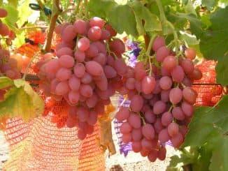 Кишмиш лучистый виноград.