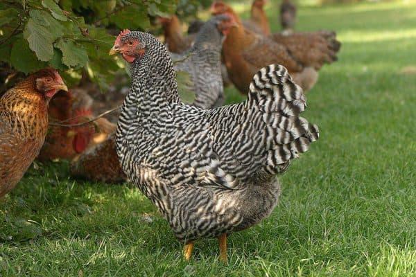 Мясо-яичные породы кур — для разведения в домашних условиях