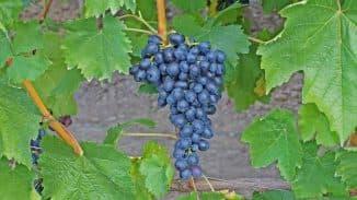 аттика виноград
