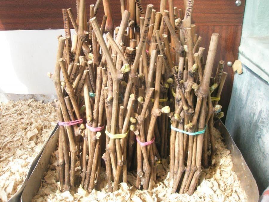 Как заготовить черенки винограда и как хранить срезанные осенью