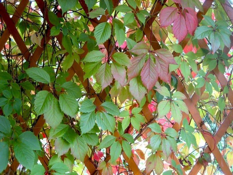 Как садить девичий виноград осенью